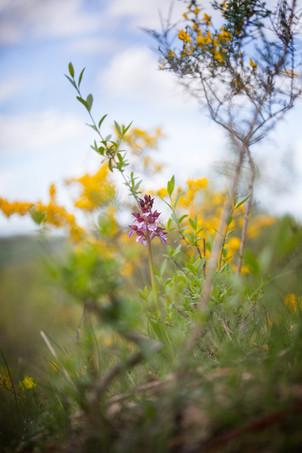 Orchis purpurea. Orchis pourpre. Purple orchid. Aude 29/04/19