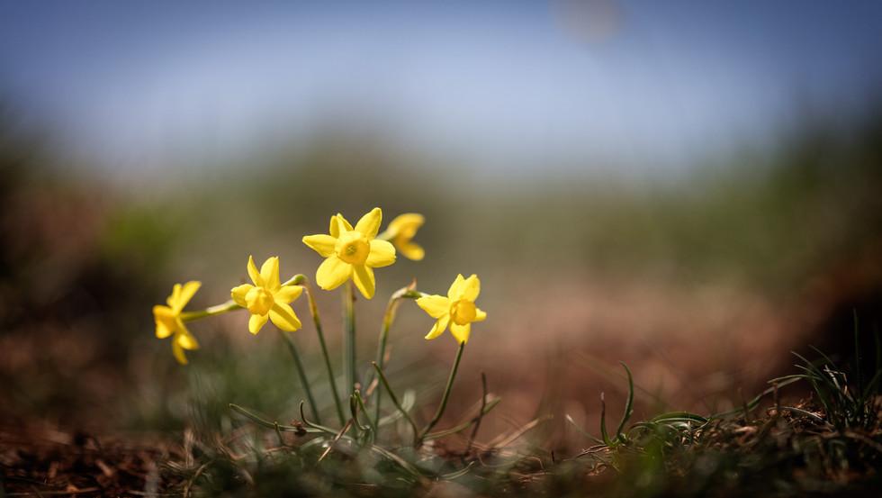 Narcissus assoanus. Narcisse à feuilles de jonc. Rush leaf jonquil. Aveyron 24/04/18