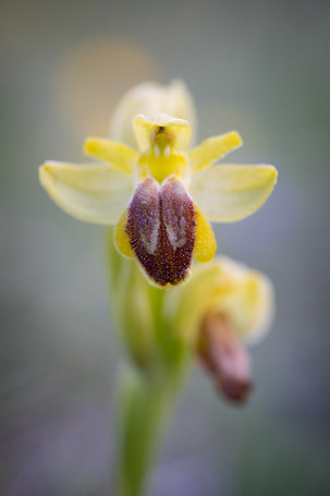 Ophrys lutea. Ophrys jaune. Yellow bee orchid. 29/05/2019 Aveyron