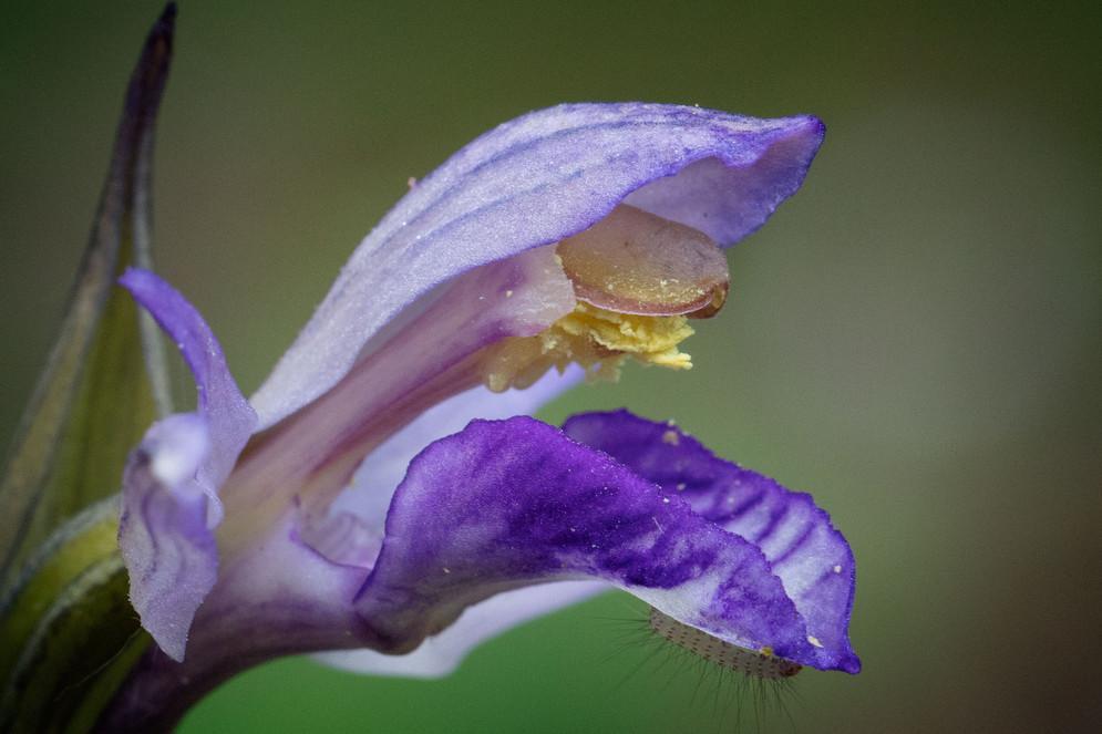 Limodorum abortivum. Limodore à feuilles avortées. Violet limodore. Essonne 21/05/18