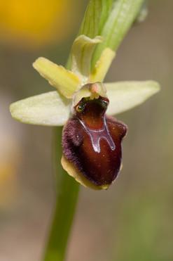 Ophrys sphegodes 15-2.jpg