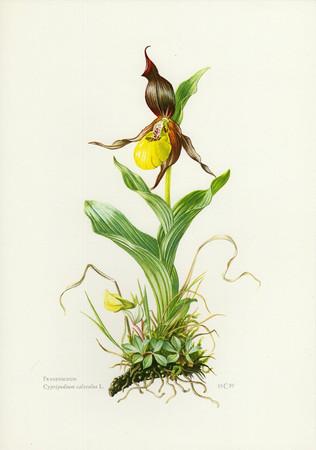 Cypripedium calceolus.