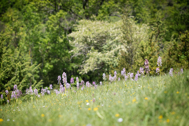 Orchis militaris. Orchis militaire. Military orchid. Aveyron 01/06/18