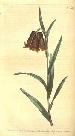 Fritillaria pyrenaica. Fritillaire des Pyrénées.