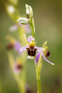 Ophrys apifera. Ophrys abeille. Bee orchid. 29/05/2017 Essonne