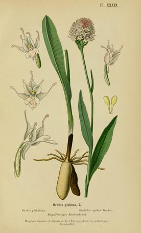 Traunsteinera globosa. Orchis globuleux. Globe orchid. Album des orchidées d'Europe Correvon 1899