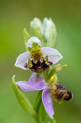 Ophrys abeille. Ophrys apifera. Bee orchid. 11/06/2016 Essonne
