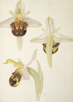 Ophrys apifera. Ophrys abeille. Bee orchid. Franz Bauer
