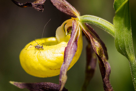 Cypripedium calceolus. Sabot de Venus. Lady's slipper. 06/06/18 Côte d'Or