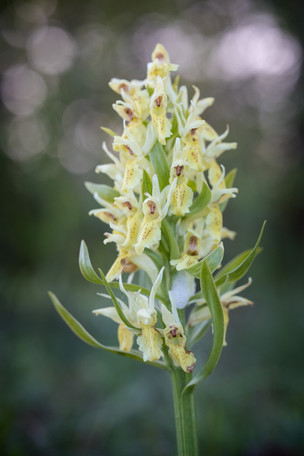 Dactylorhiza sambucina. Orchis sureau. Elder flowered orchid. Aveyron 28/05/19