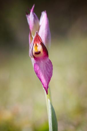 Serapias lingua. Serapias en langue. Tongue orchid. Aude 28/04/19