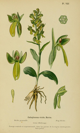 Coeloglossum viride. Orchis grenouille. Frog orchid. Album des orchidées d'Europe Correvon 1899