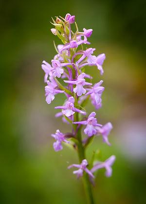 Orchis moucheron 15-2-2.JPG