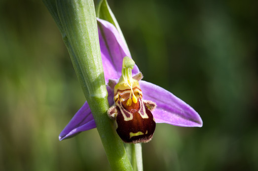 Ophrys abeille. Ophrys apifera. Bee orchid. 31/05/2014 Seine et Marne