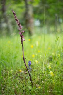 Limodorum abortivum. Limodore à feuilles avortées. Violet limodore. Aveyron 30/05/18