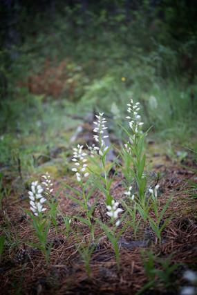 Cephalanthera longifolia. Cephalanthère à longues feuilles. Sword leaved helleborine. Aveyron 29/05/19