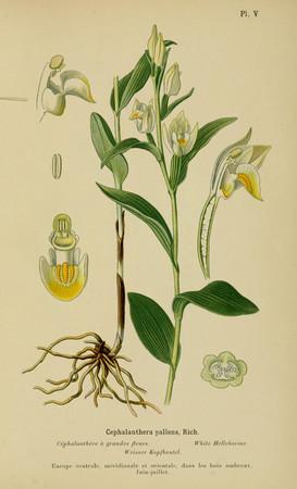 Cephalanthera damasonium. Cephalanthère à grandes fleurs. Large white helleborine. Album des orchidées d'Europe Correvon 1899