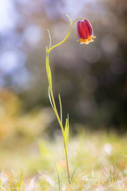 Fritillaria pyrenaica. Fritillaire des Pyrénées. Aveyron 27/04/18