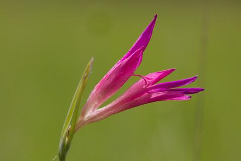Gladiolus italicus. Aveyron. 27/05/18
