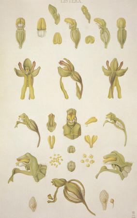 Listera ovata. Listère ovale. Common twayblade. Franz Bauer