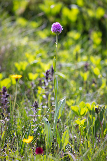 Traunsteinera globosa. Orchis globuleux. Globe orchid. Savoie 10/07/17