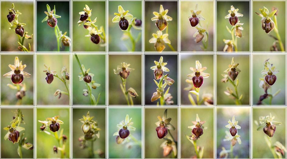 Le Buisson pouilleux Ophrys aranifera.jp