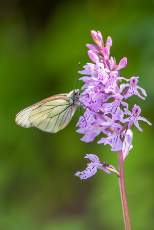 Dactylorhiza maculata Savoie 15/07/11