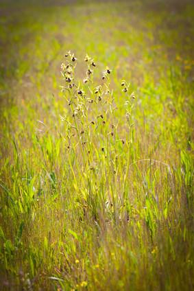 Ophrys sphegodes 39.jpg