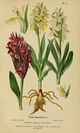 Dactylorhiza sambucina. Orchis sureau. Elder flowered orchid. Album des orchidées d'Europe Correvon 1899