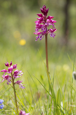 Orchis militaris. Orchis militaire. Military orchid. Aude 29/04/19
