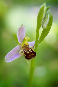 Ophrys abeille. Ophrys apifera. Bee orchid. 21/05/2020 Essonne