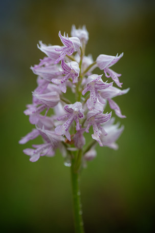 Orchis militaris. Orchis militaire. Military orchid. Aveyron 28/05/18