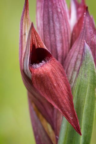 Serapias lingua. Serapias en langue. Tongue orchid. Aude 29/04/19