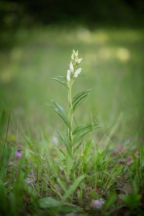 Cephalanthera damasonium. Cephalanthère à grandes fleurs. Large white helleborine. Essonne 21/05/17