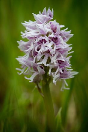 Orchis militaris. Orchis militaire. Military orchid. Seine et Marne 15/05/16