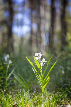 Cephalanthera longifolia. Cephalanthère à longues feuilles. Sword leaved helleborine. Aveyron 31/05/19