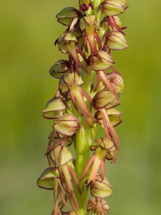Orchis anthropophora. Orchis homme pendu. Man orchid. Essonne 18/05/14
