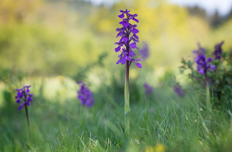 Anacamptis morio. Orchis bouffon. Green winged orchid. Jura 05/05/18
