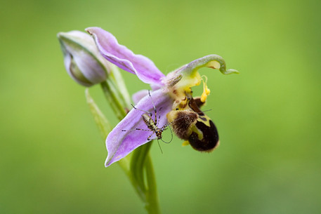 Ophrys abeille. Ophrys apifera. Bee orchid. 10/06/2006 Essonne