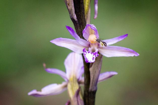 Limodorum abortivum. Limodore à feuilles avortées. Violet limodore. Essonne 29/05/17