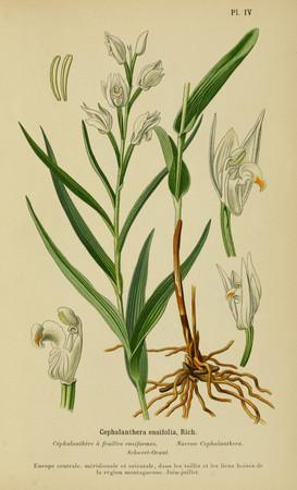 Cephalanthera longifolia. Cephalanthère à longues feuilles. Sword leaved helleborine. Orchidées d'Europe Correvon 1899