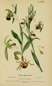 Ophrys apifera. Ophrys abeille. Bee orchid. Album des orchidées d'Europe Correvon 1899