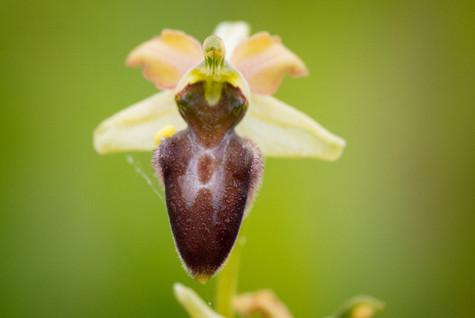 Ophrys sphegodes 69-2-2.JPG