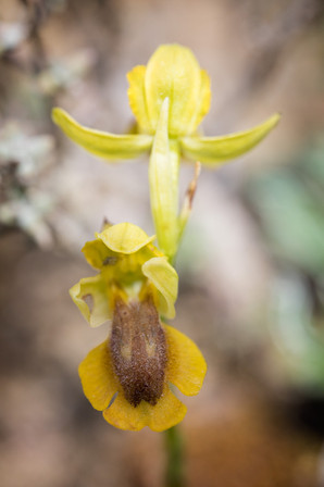 Ophrys lutea. Ophrys jaune. Yellow bee orchid. 28/04/19 Aude