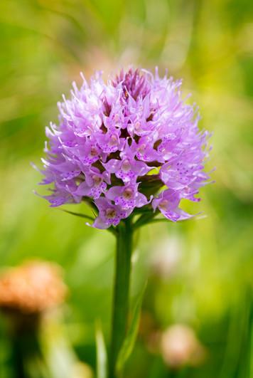 Traunsteinera globosa. Orchis globuleux. Globe orchid. Savoie 14/07/17