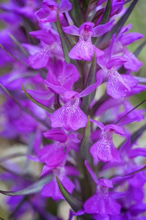 Dactylorhiza elata. Orchis élevé. Robust marsh orchid. Aveyron 26/05/19