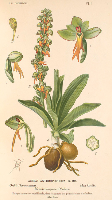 Orchis anthropophora. Orchis homme pendu. Man orchid. Album des orchidées d'Europe Correvon 1899