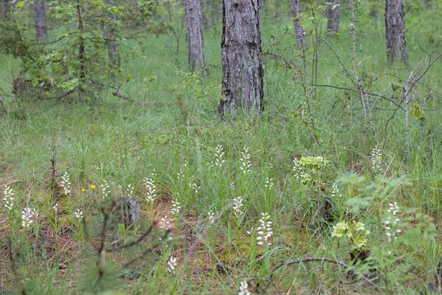 Cephalanthera longifolia. Cephalanthère à longues feuilles. Sword leaved helleborine. Aveyron 28/05/19
