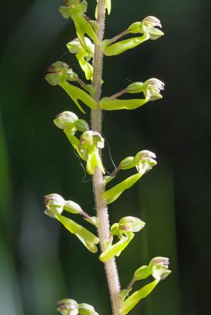 Listera ovata. Listère ovale. Common twayblade. Essonne 17/05/15
