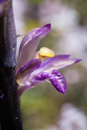 Limodorum abortivum. Limodore à feuilles avortées. Violet limodore. Aude 30/04/19